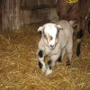 Flora The Baby Goat Photo